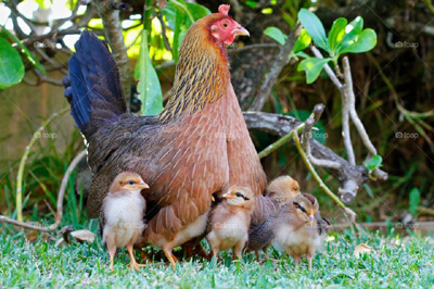 Why keep chickens?