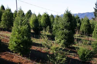 Christmas Trees REAL or FAKE - Christmas Tree Farm